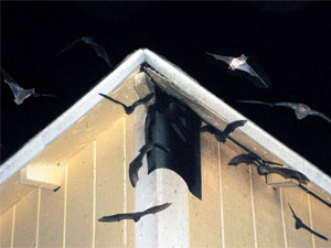 Keeping Bats Out of Your Home